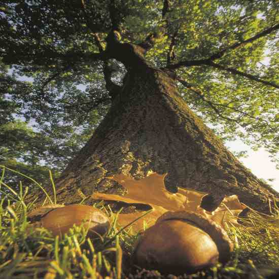 The Oak Tree and The Acorn
